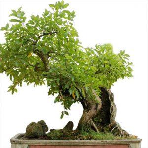 Cách Chọn chậu phù hợp với cây bonsai